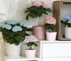 Magical-hortensia-bloemenboompje