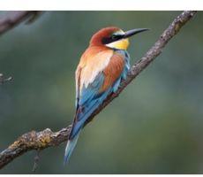 verrekijker-Yellowbird-II-ED